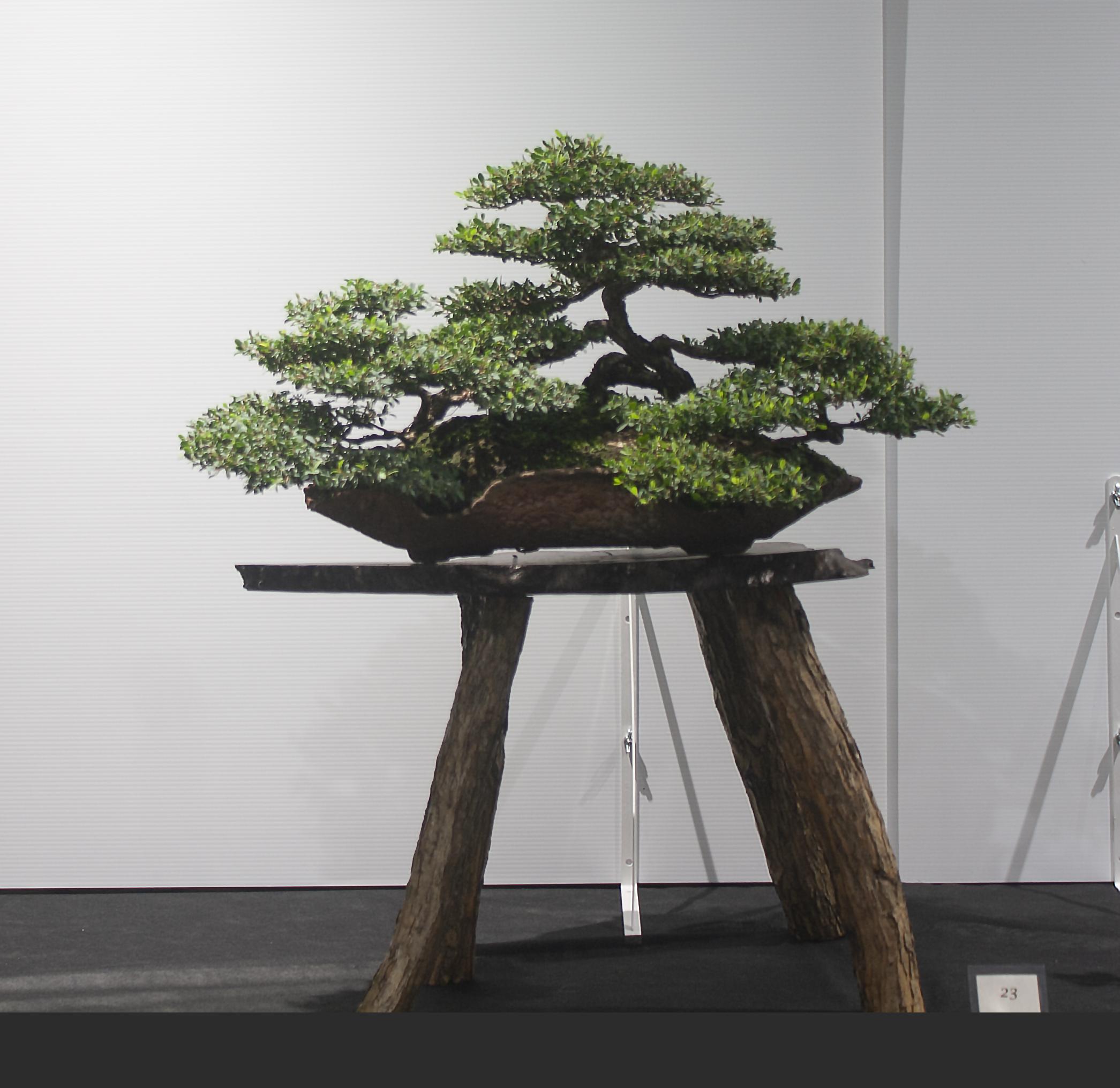 23 Leptospermum laevigatum, Coastal tea tree