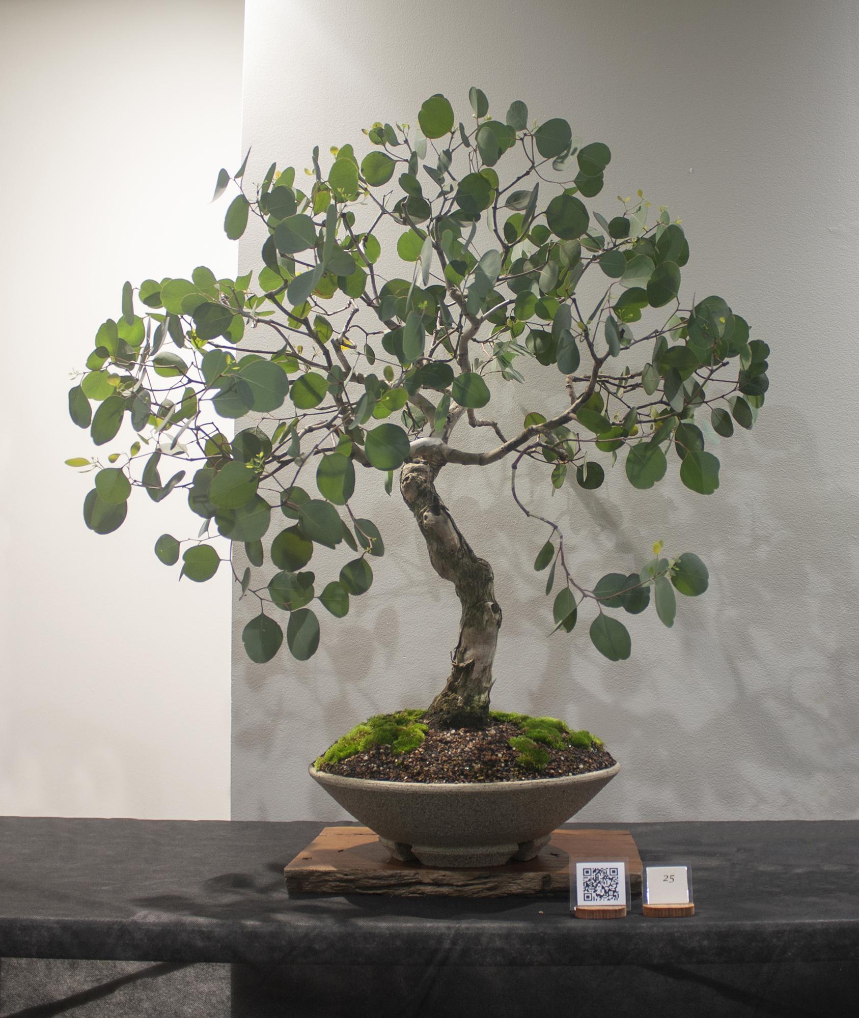 25 Eucalyptus polyanthemos, Red box