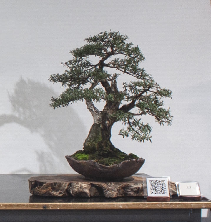 33 Kunzea peduncularis, Burgan