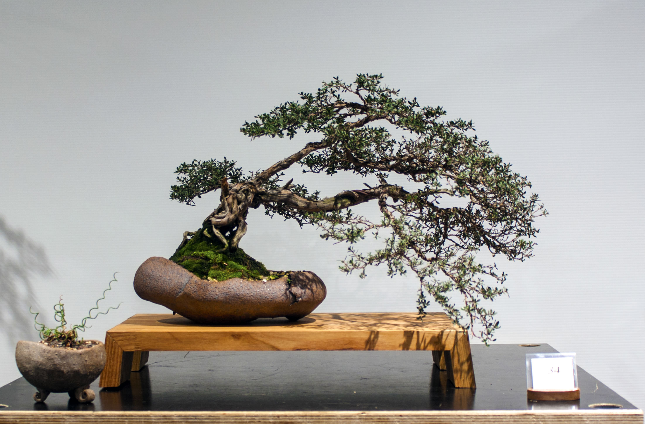 34 Leptospermum rupestre, Alpine tea tree