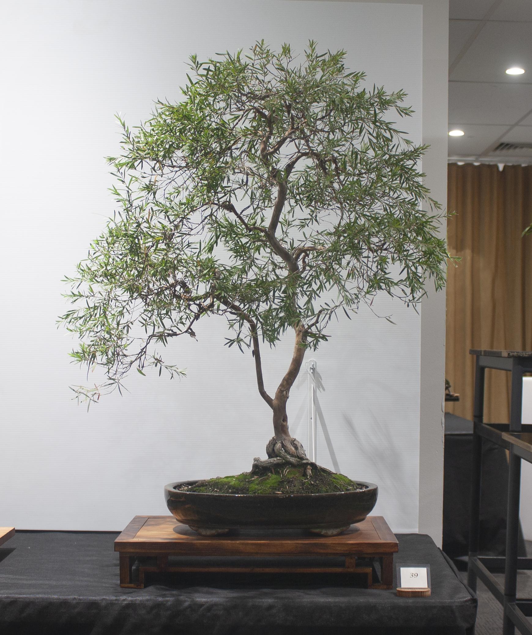 39 Leptospermum madidum ssp sativum, Silver weeping tea tree