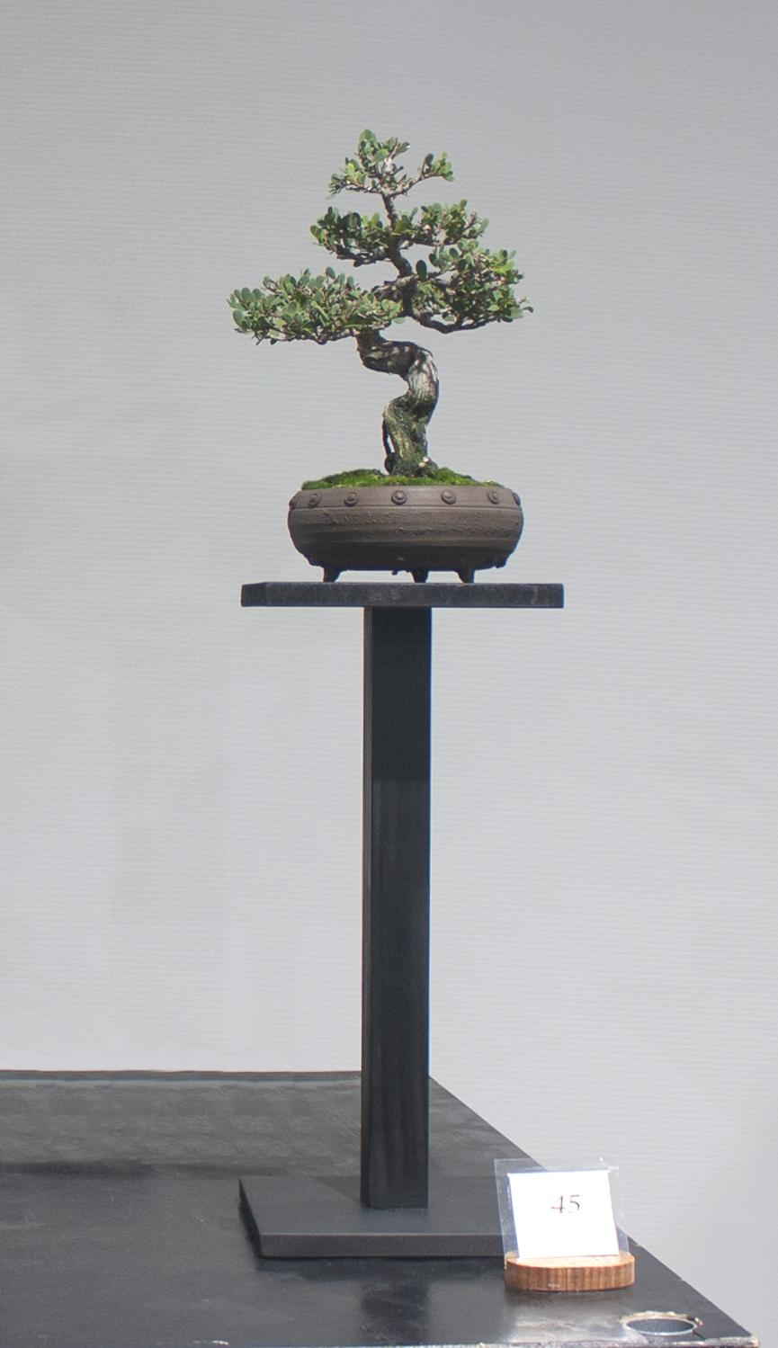 45 Leptospermum laevigatum, Coastal tea tree