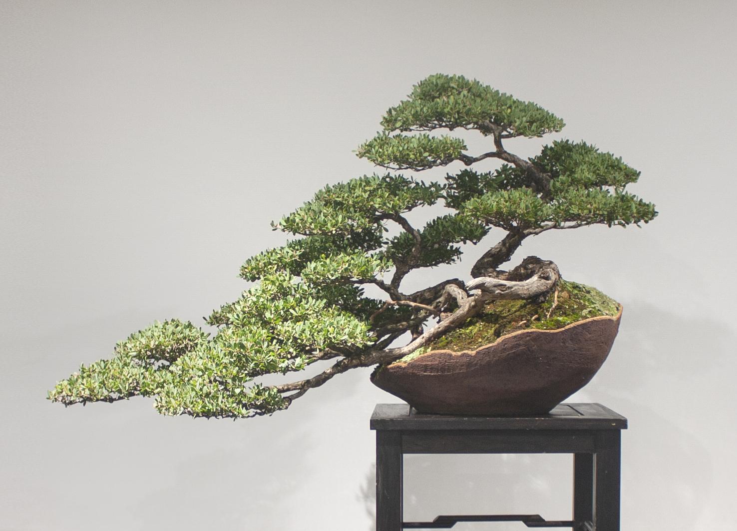 53 Leptospermum laevigatum, Coastal tea tree