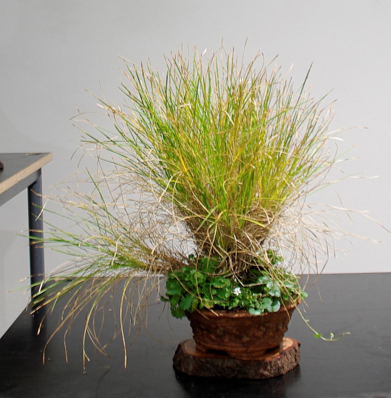 61c Lomandra confertifolia, native grass