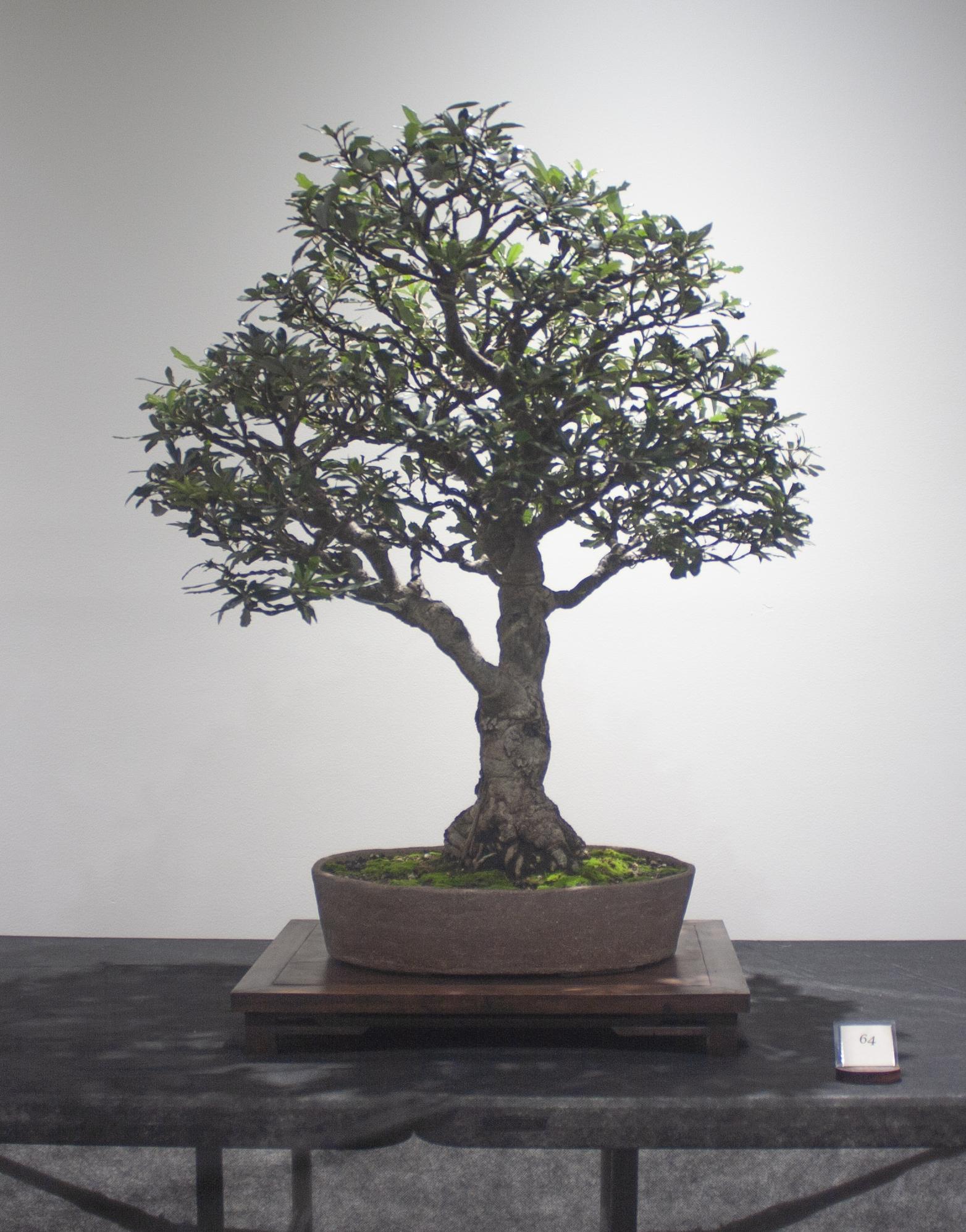64 Banksia integrifolia, Coast banksia