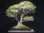 2019 AABC 32nd National Bonsai Convention Gallery