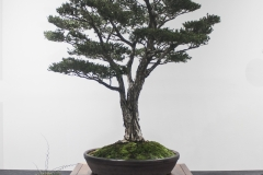 14 Melaleuca- ericifolia, Swamp paperbark
