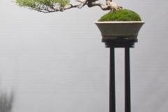 """42 Leptospermum flavescens, Tea tree """"Cardwell Pink"""""""