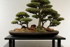 44 Leptospermum laevigatum, Coastal tea tree
