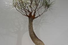 47 Brachychiton rupestris, Queensland bottle tree