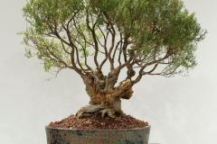49 Leptospermum continentale, Prickly tea tree