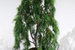 52 Lagarostrobus franklinii, Huon pine