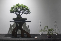 62 Ficus microcarpa, Curtain, or Banyan, fig