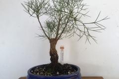 15-Grevillea-anethifolia