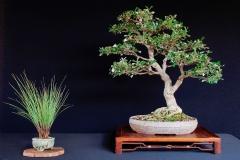 18-Banksia-integrifolia