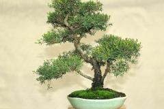 4-Leptospermum-sp