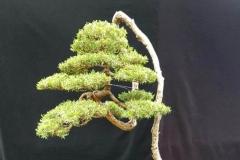 8-Baeckea-linifolia