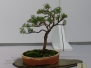 Symposium 2015 - Australian Native Plants as Bonsai
