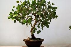 10 Eucalyptus polyanthemos, red box