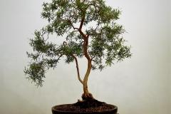 13 Leptospermum madidum var. sativum, weeping tea tree