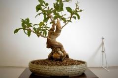 17 Corymbia citrodora, lemon scented gum tree