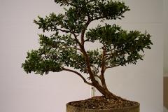 19 Leptospermum laevigatum