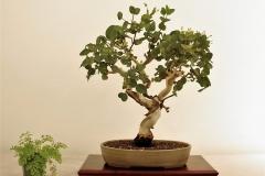 2 Eucalyptus leucoxylon, yellow gum (2)