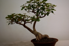22 Brachychiton bidwillii, little kurrajong