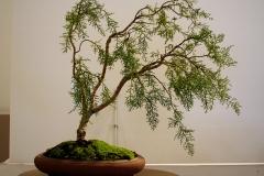 5 Lagarostrobos franklinii, Huon pine