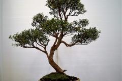 6 Kunzea ericoides, burgan