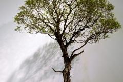 7 Melaleuca stypheliodes, prickly paperbark