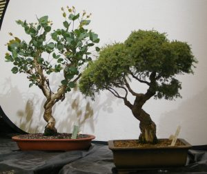 Annalea's demo trees - Euc leucoxylon and Melaleuca incana