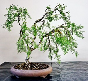 Huon Pine 2i