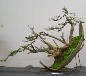 Kunzea ericoides, Burgan