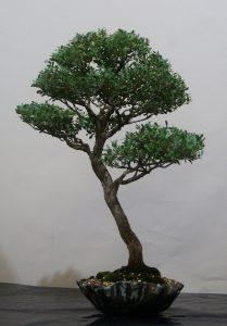 Leptospermum laevigatum, Coastal Tea Tree