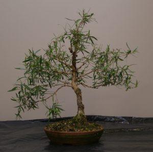 leptospermum-petersenii