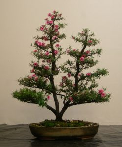 "Leptospermum scoparium ""Ballerina"" in flower"