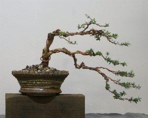"Leptospermum scoparium ""Rocky Rambler"""